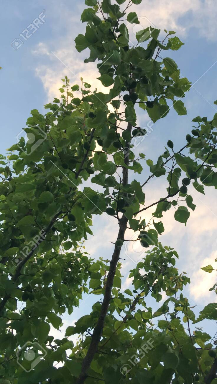 summer garden with green apricot trees against the sky. frame of trees and blue sky - 147699185