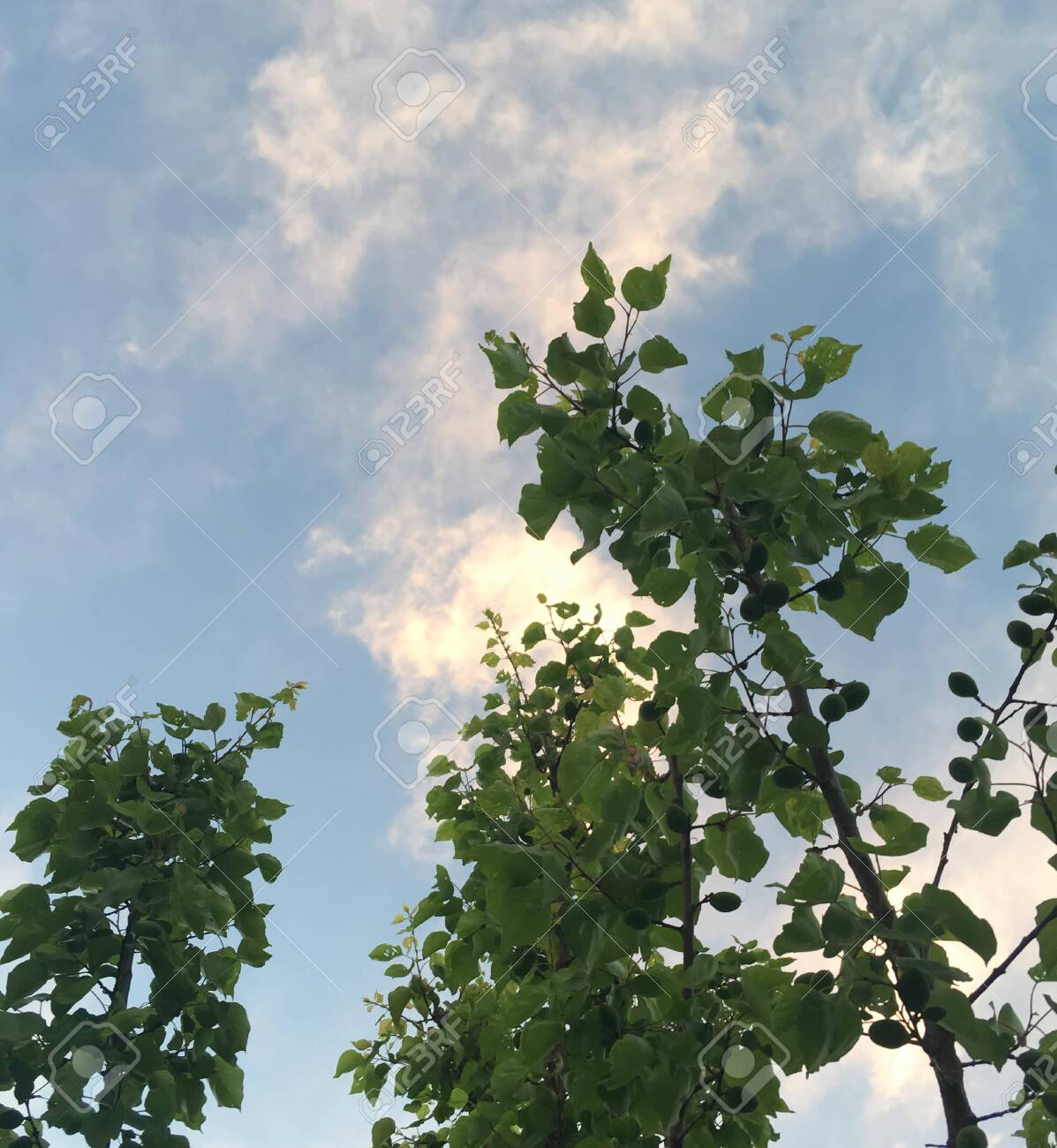 summer garden with green apricot trees against the sky. frame of trees and blue sky - 147701506