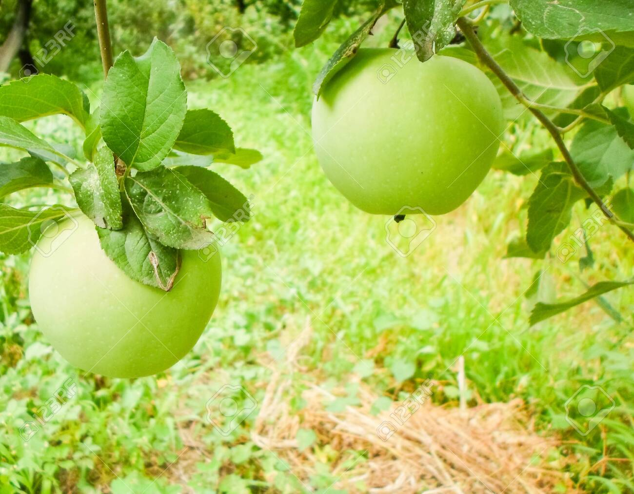 Large green apples on apple tree branches in the garden on a summer day. - 148351180