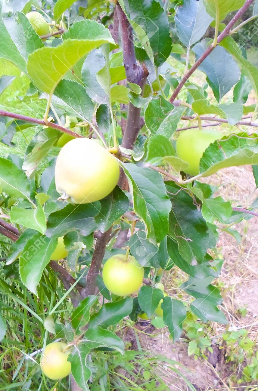 green apples on a tree in summer. apple orchard with beautiful apples - 147694142