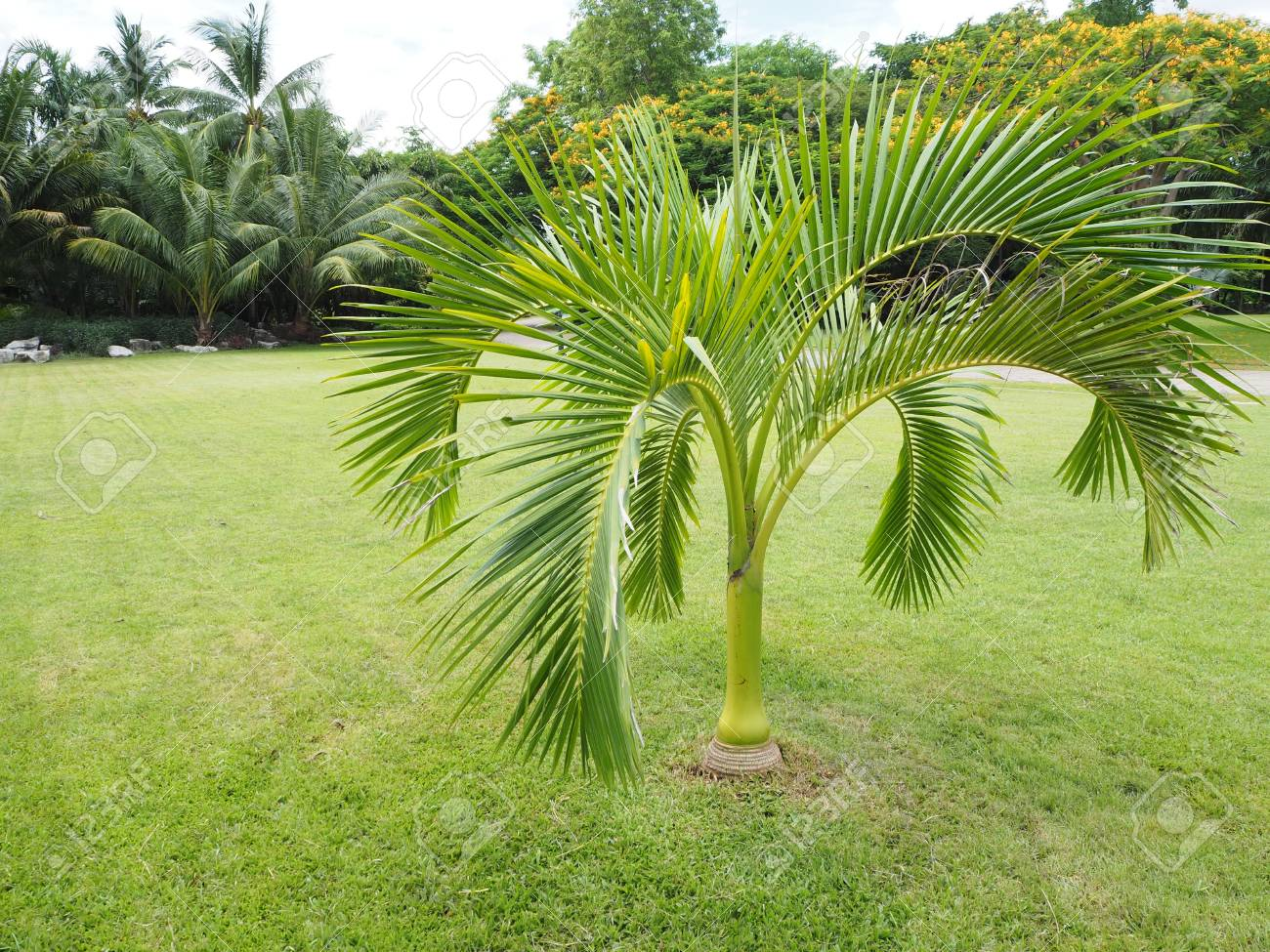 Palm Trees Oasis Palm Trees In The Garden Beautiful Palm Leaves