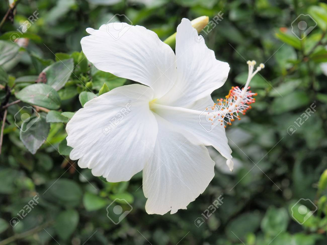 White hibiscus flower blooming in the gardenwhite flower in stock stock photo white hibiscus flower blooming in the gardenwhite flower in the background blurred white flower blossomwhite hibiscus is beautiful mightylinksfo