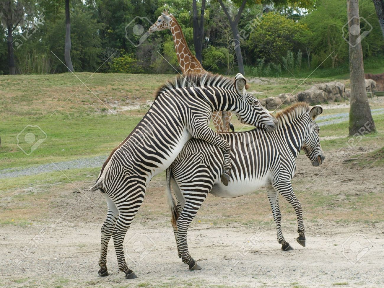 Zebras Mating Stock Photo Picture And Royalty Free Image Image