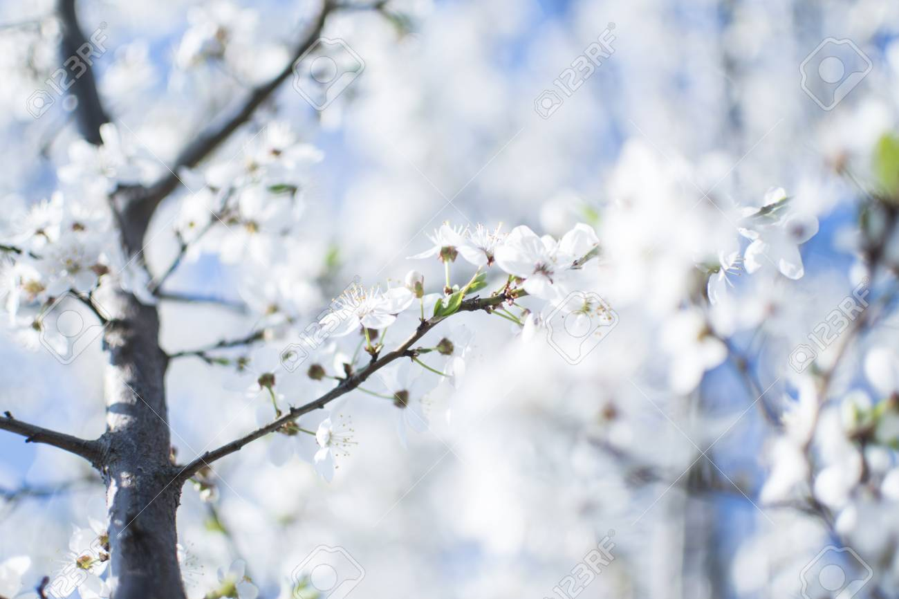 Flowers Background White Apple Tree Flowers Spring Tree Flowers