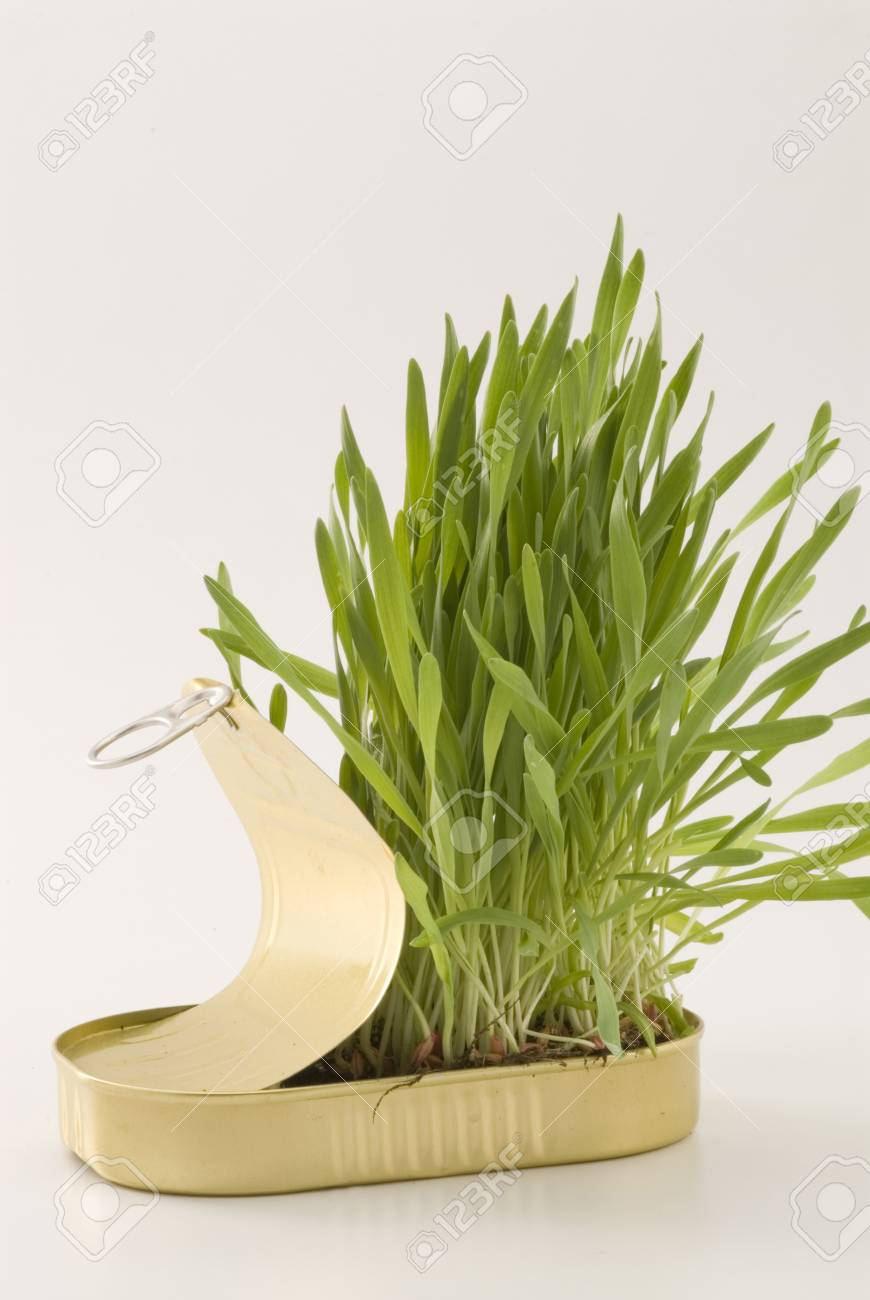 Grass growing in an aluminum recycled can  White background Stock Photo - 15800686