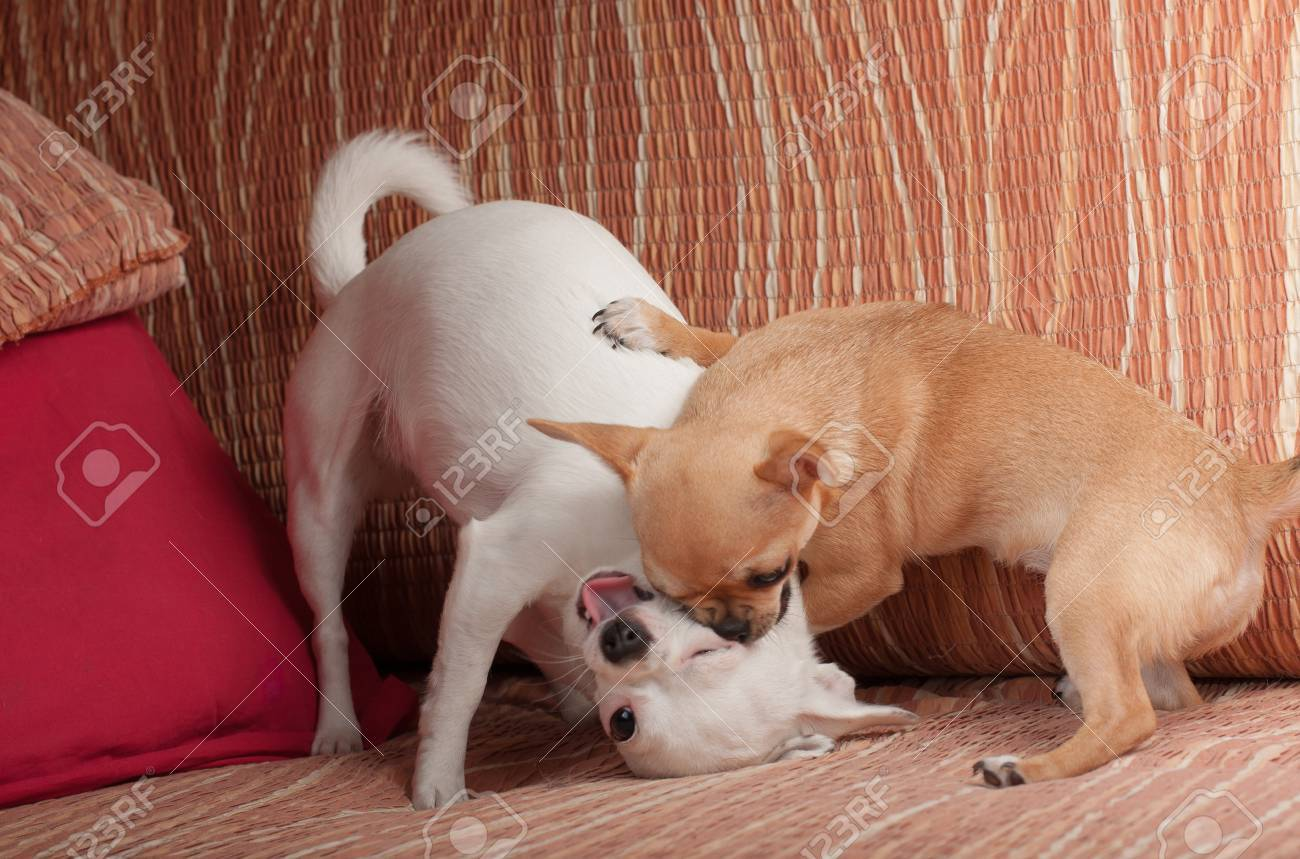 Cinnamon Chihuahua puppy playing with white Chihuahua on sofa - 54638086