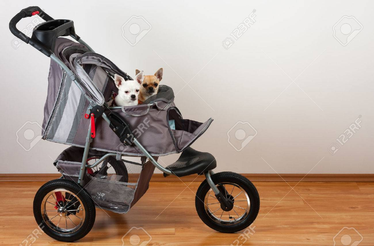 Cinnamon and white Chihuahua are sitting in comfortable pet stroller - 84416404