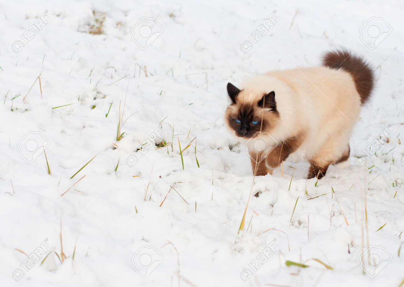 A seal point Birman cat, 4 year old cat, male with blue eyes is walking in garden in winter time in the snow. - 162212300