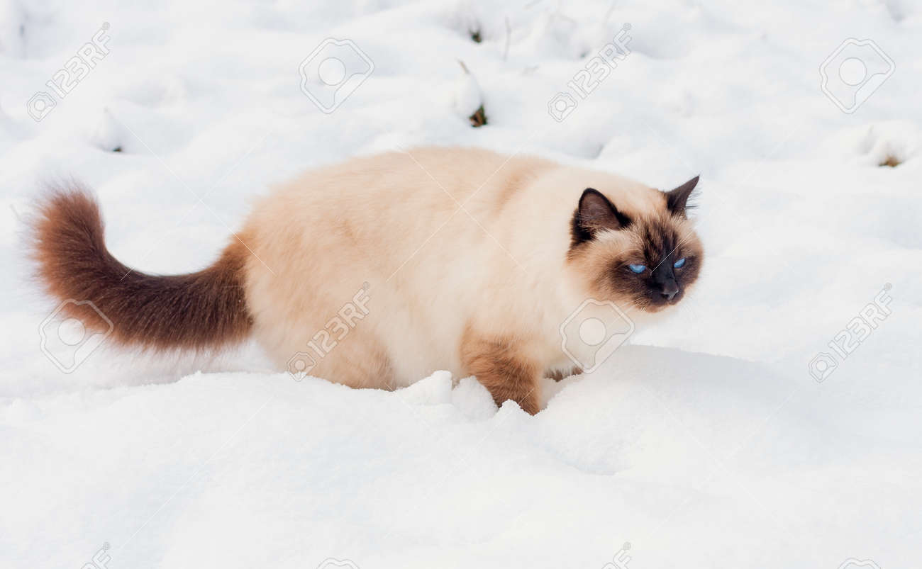 A seal point Birman cat, 4 year old cat, male with blue eyes is walking in garden in winter time in the snow. - 162212302