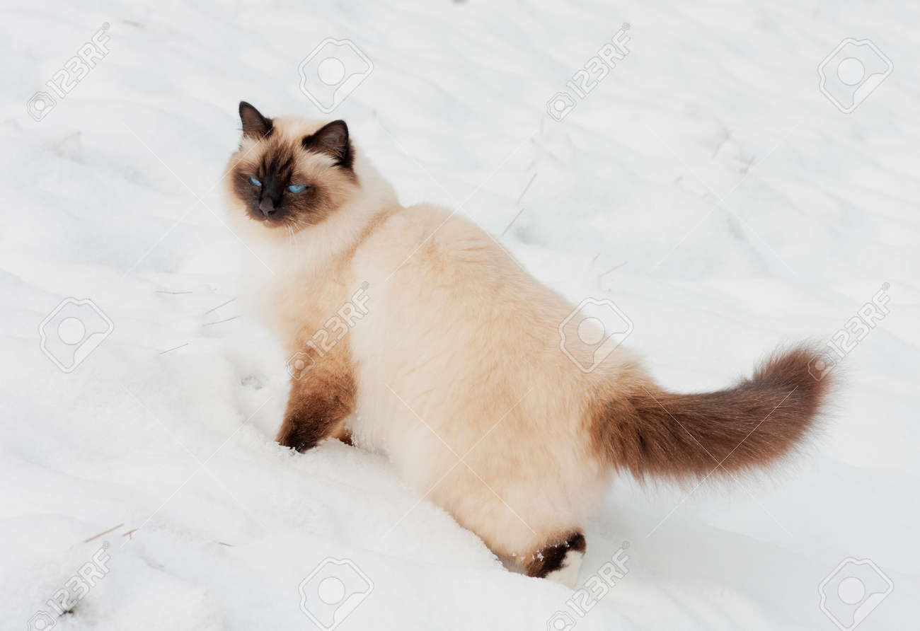 A seal point Birman cat, 4 year old cat, male with blue eyes is walking in garden in winter time in the snow. - 162212329