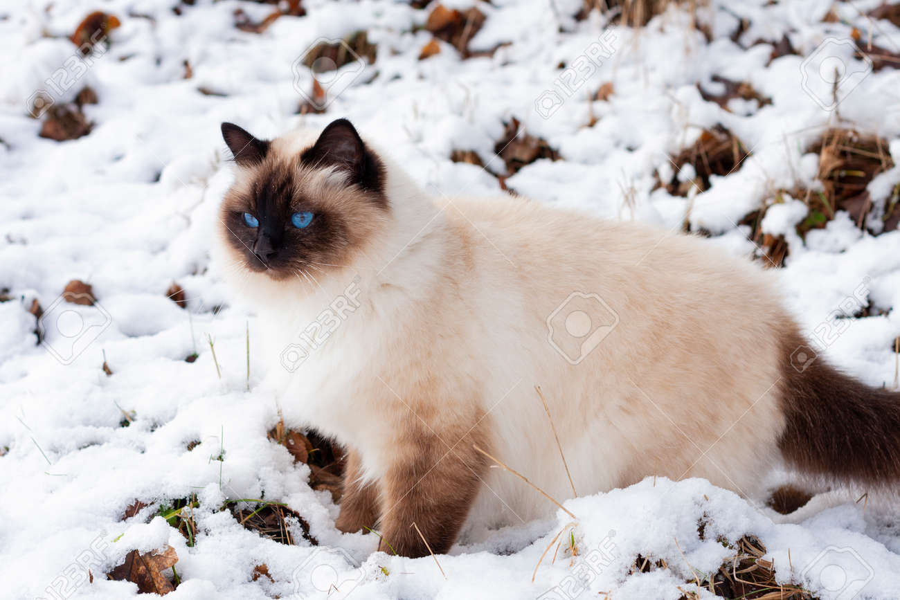 A seal point Birman cat, 4 year old cat, male with blue eyes is walking in garden in winter time in the snow. - 162212330