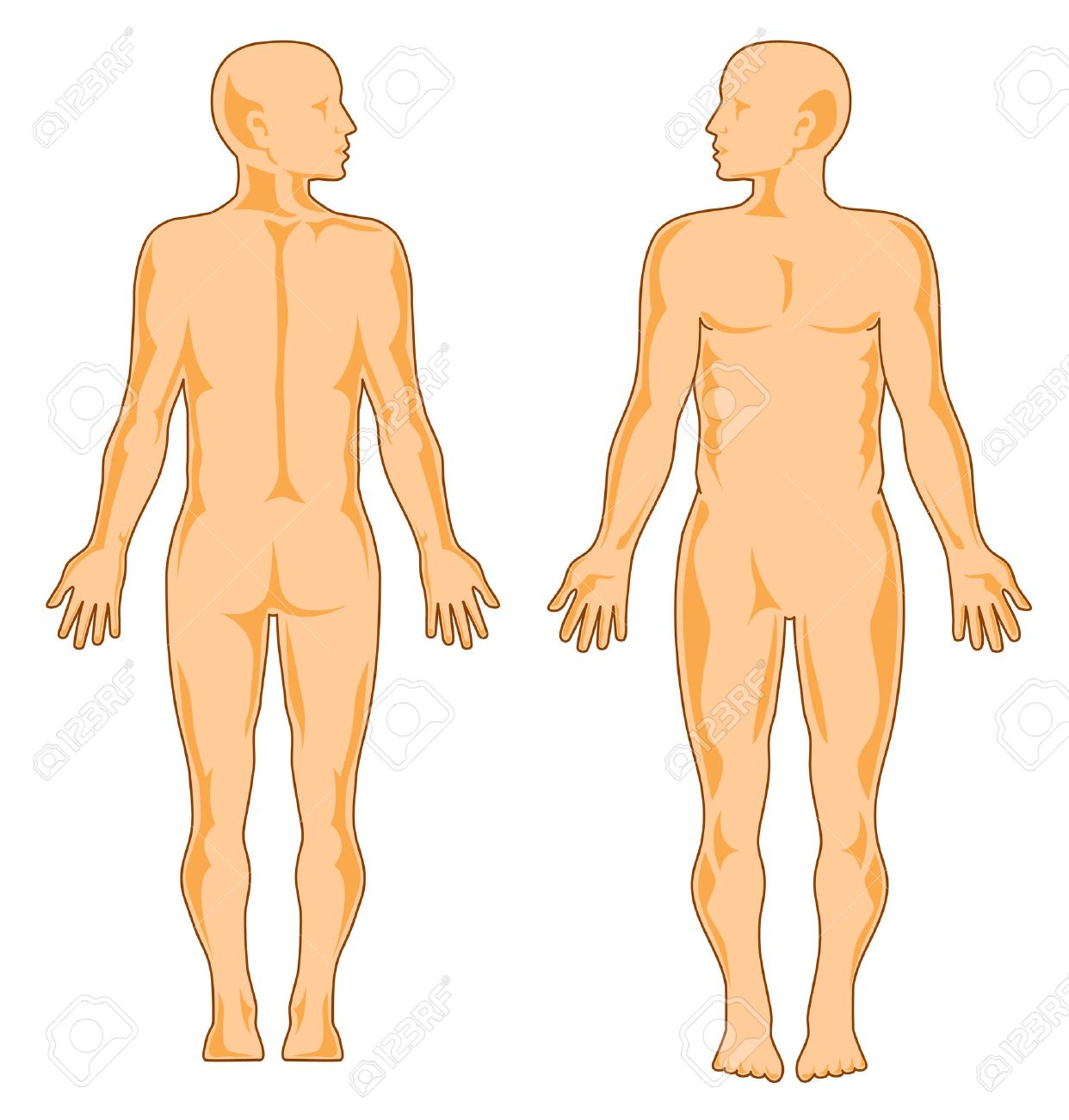 Human Anatomy, Front And Rear Royalty Free Cliparts, Vectors, And ...