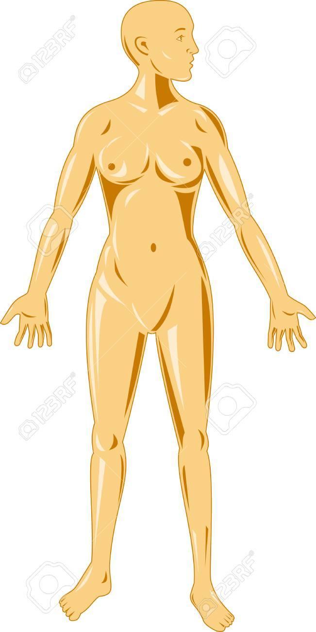 Mujeres Anatomía Humana Ilustraciones Vectoriales, Clip Art ...