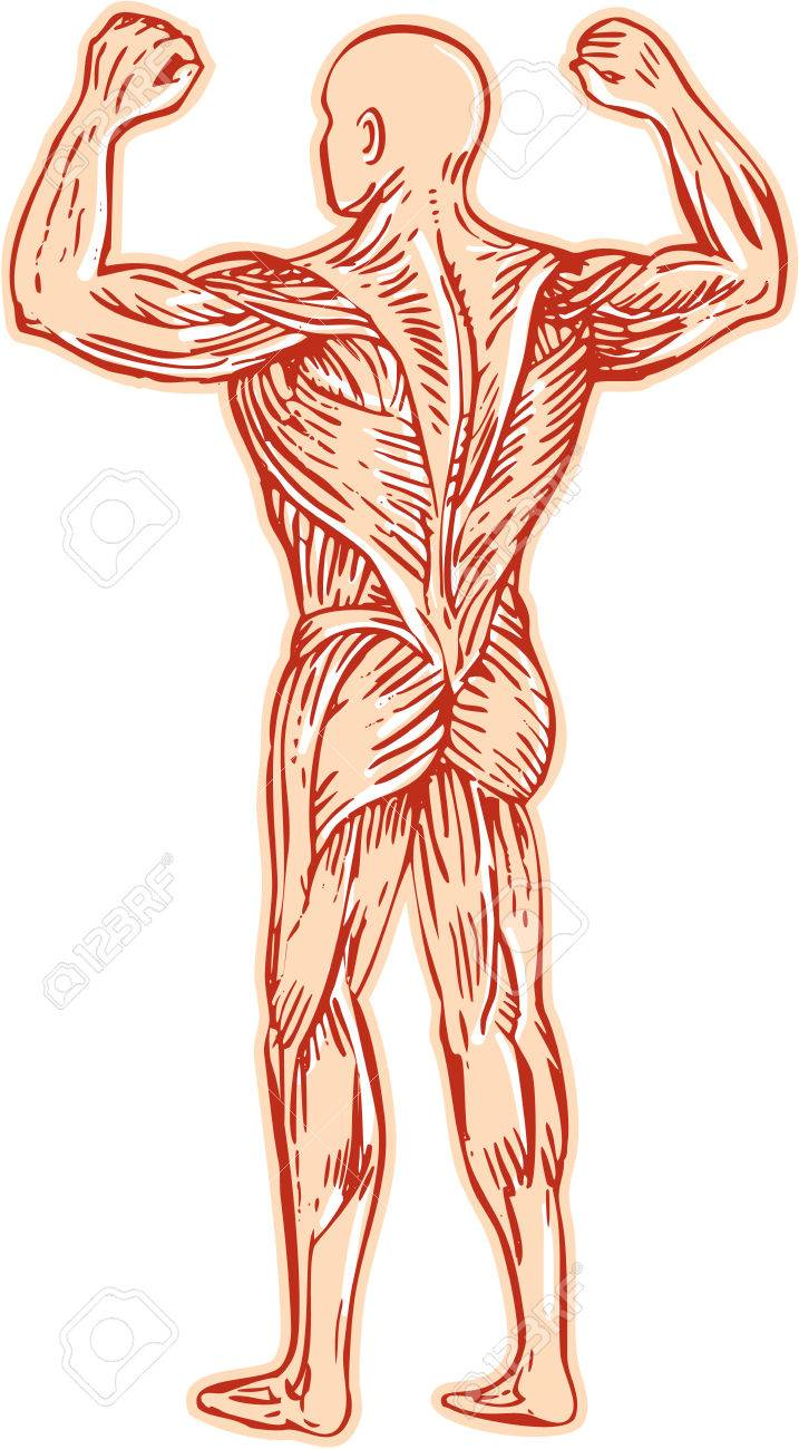 Etching Engraving Handmade Style Illustration Of Human Muscular ...