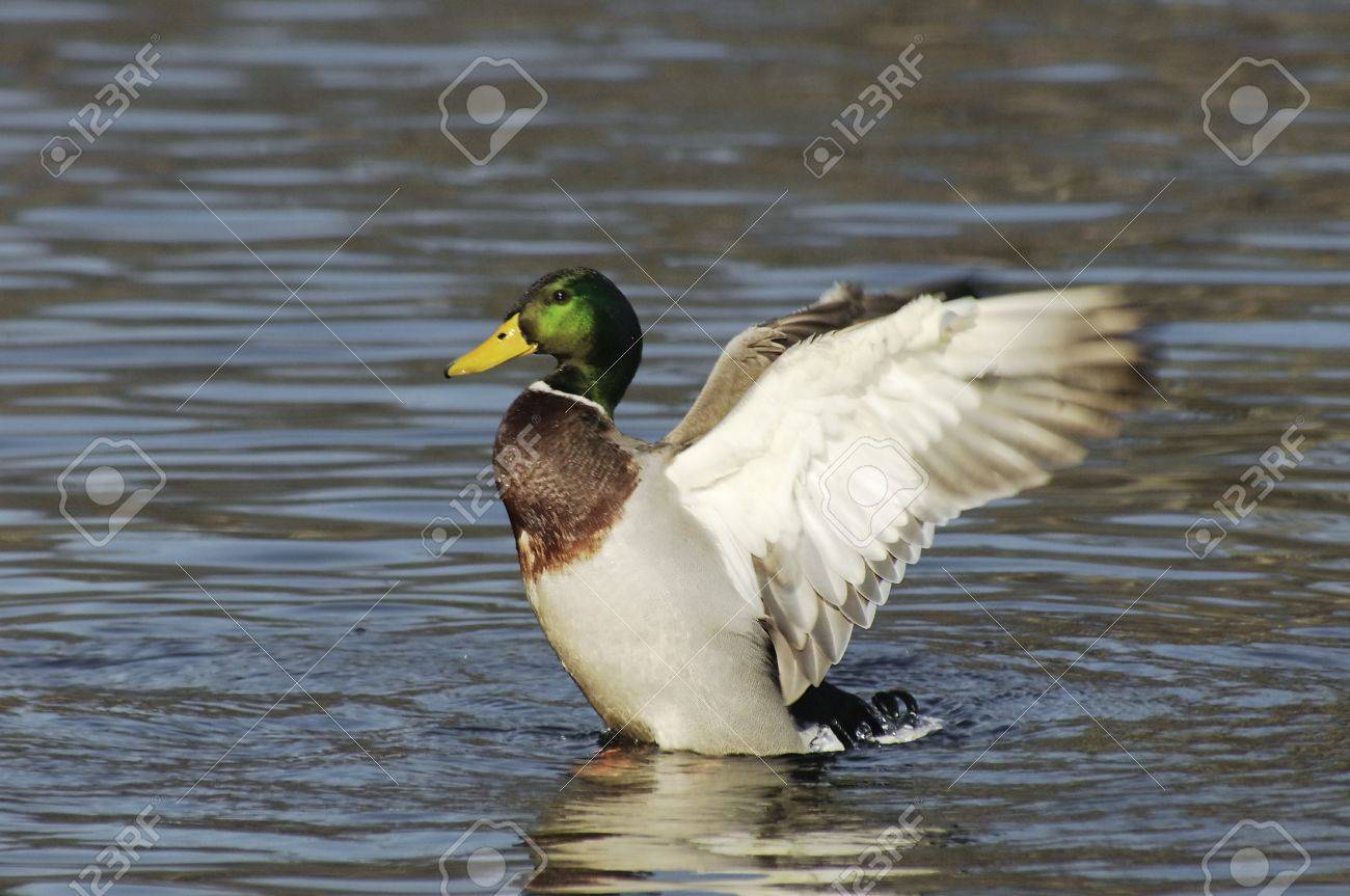 Duck Stock Photo - 8734184