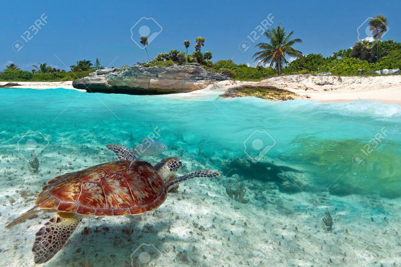 Caribbean Sea scenery with green turtle in Mexico Stock Photo - 53176200