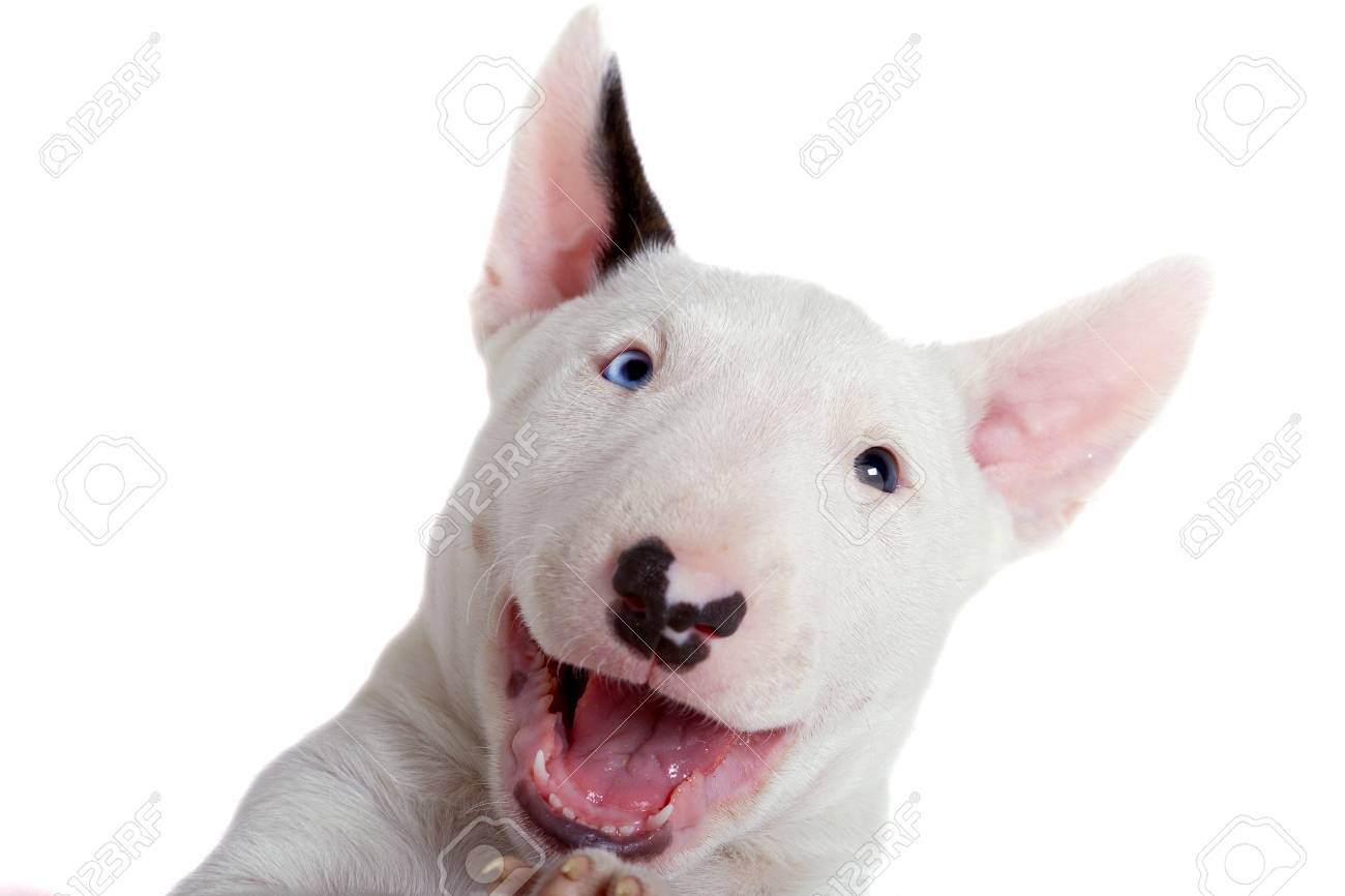 Adorable bull terrier puppy over white background Stock Photo - 58902122