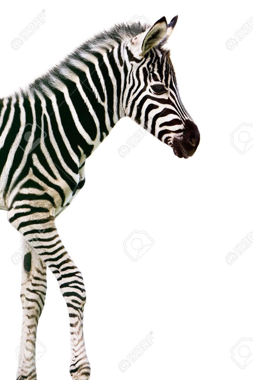 New born baby zebra over white background - 58905694