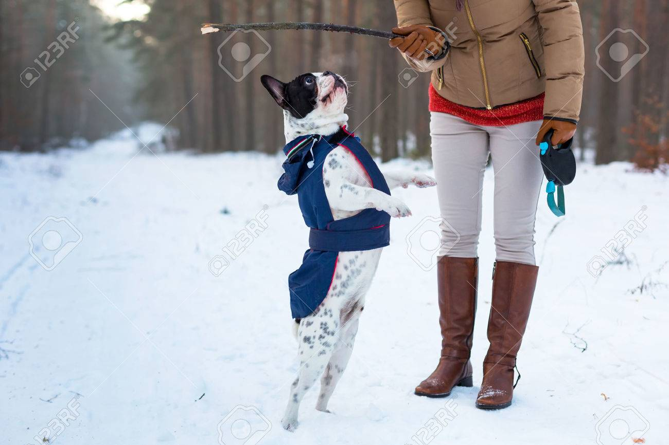 French bulldog in winter jacket jumping for a stick Stock Photo - 59717205