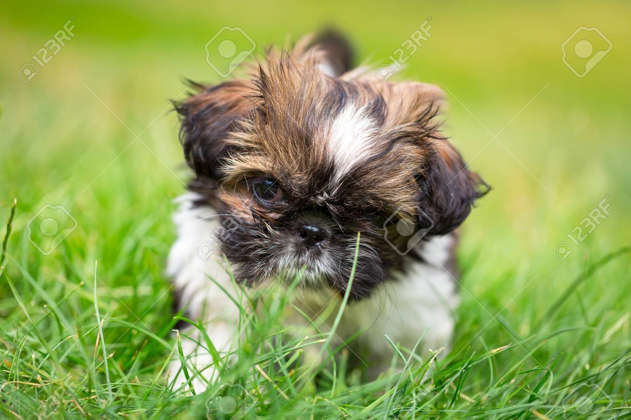Shih Tzu Puppy Playing In The Garden Stock Photo   59790153