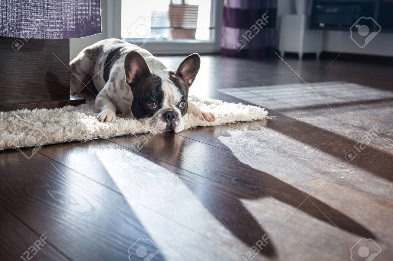 French bulldog lying down in the sunny living room Stock Photo - 59187364