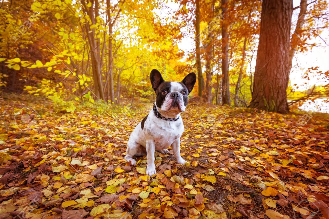 French bulldog in autumnal scenery Stock Photo - 59217019