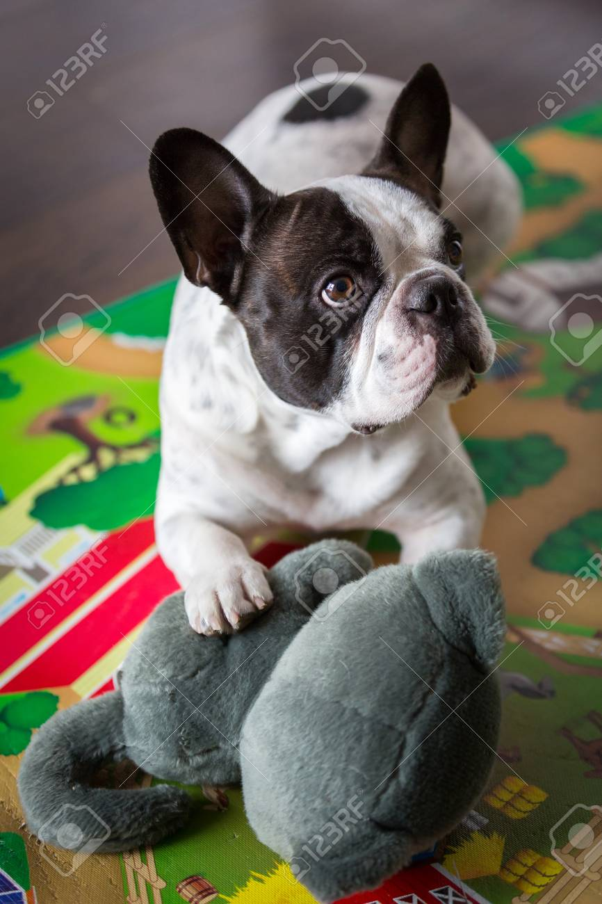 French bulldog lying on the floor with maskot Stock Photo - 76033772