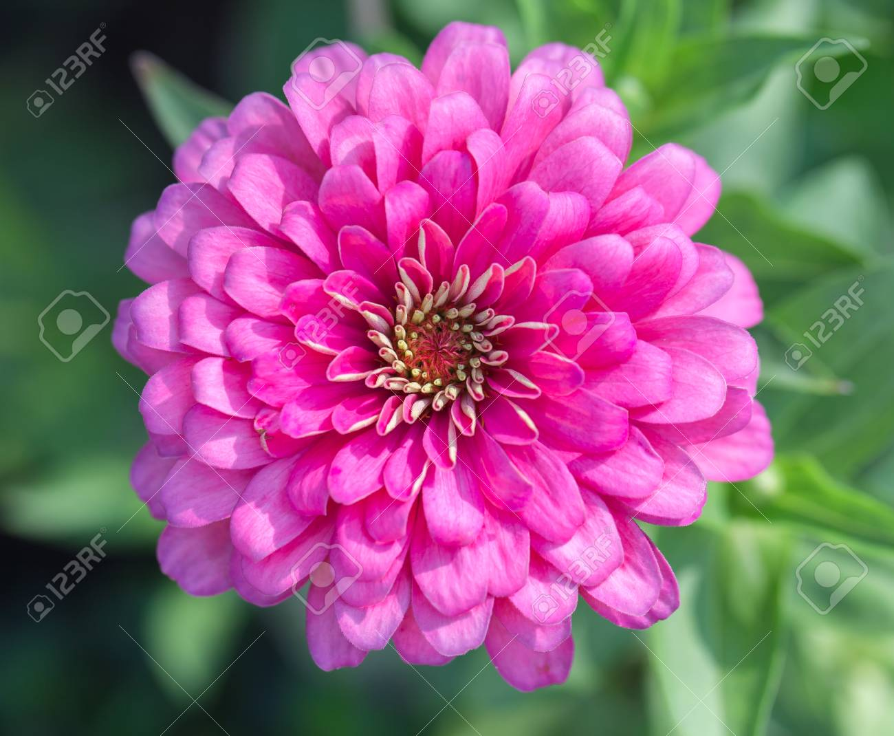"""Image result for pink zinnia"""""""