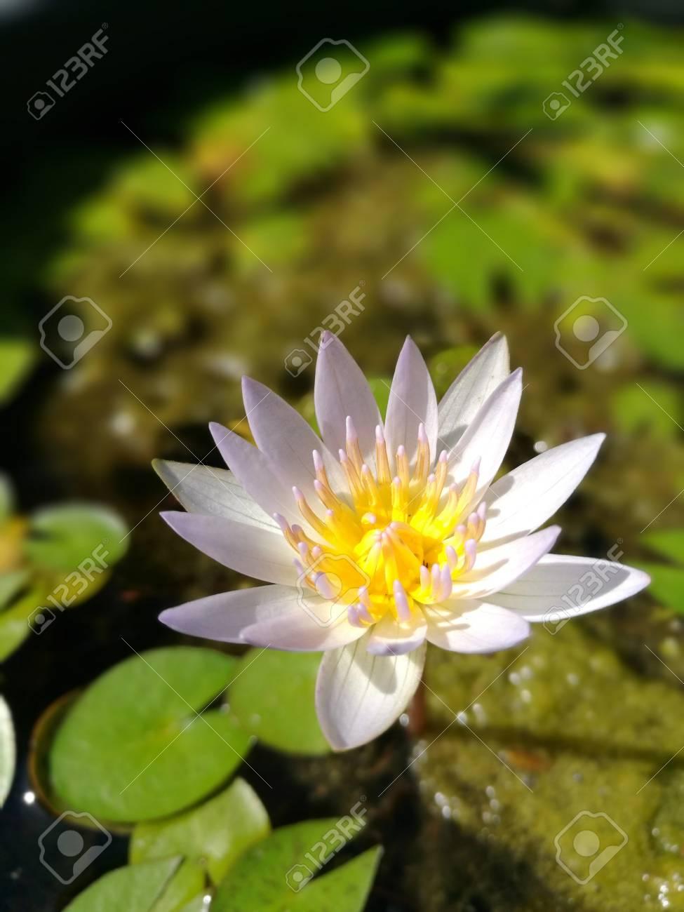 Beautiful white lotus flower in the sunny day with shallow depth beautiful white lotus flower in the sunny day with shallow depth of field stock photo izmirmasajfo