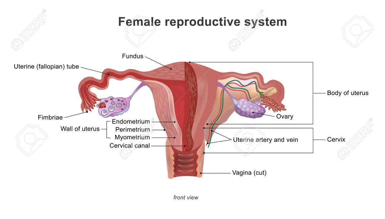 Gemütlich Weibliches Fortpflanzungssystem Bild Und Teile Ideen ...