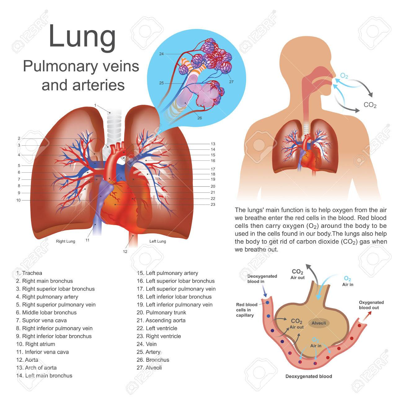 The Lungs Are The Primary Organs Of Respiration In Humans And ...