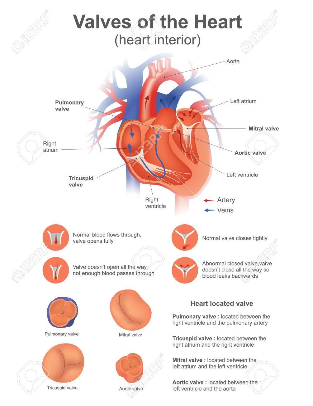 Nett Herzklappen Anatomie Zeitgenössisch - Anatomie Ideen - finotti.info