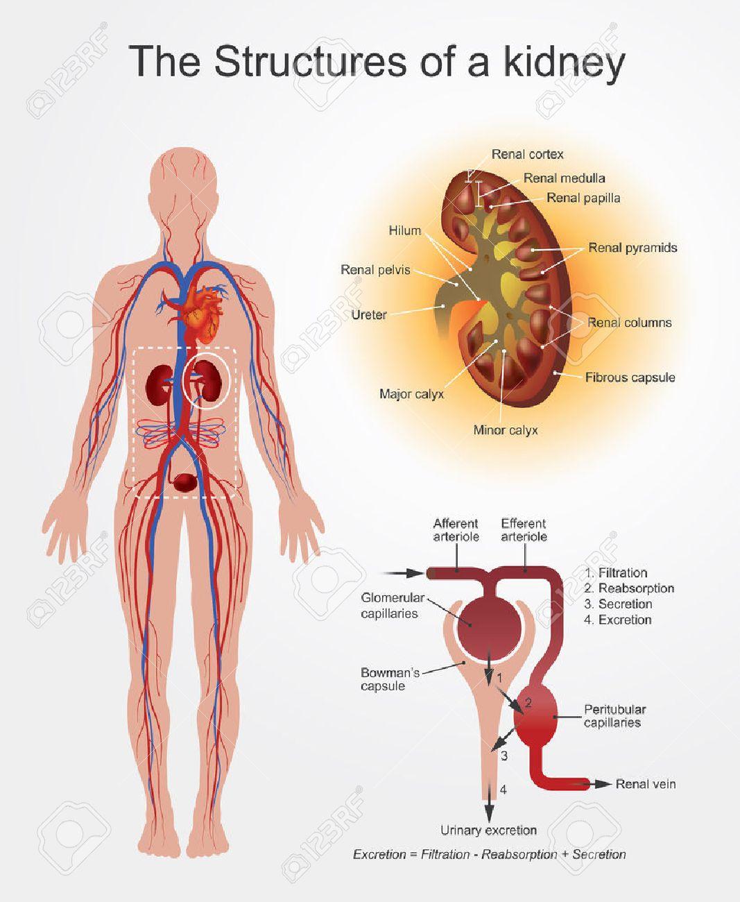 Groß Wo Sind Ihre Nieren Fotos - Anatomie Von Menschlichen ...