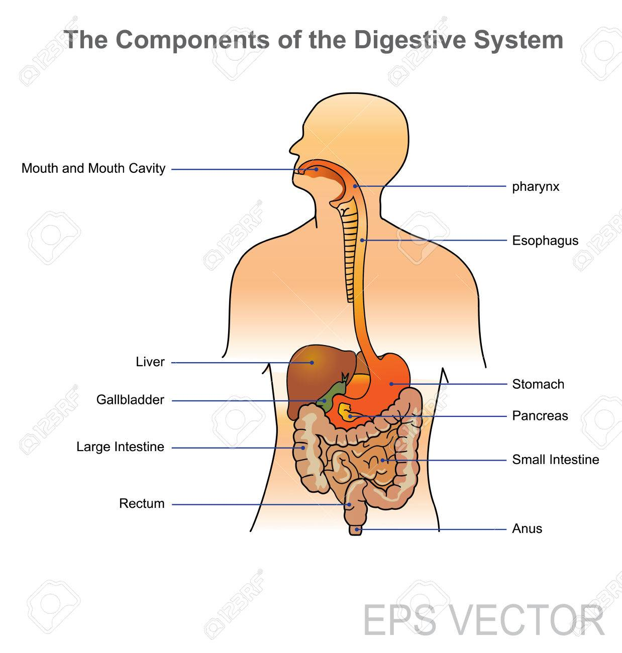 The Human Digestive System Consists Of The Gastrointestinal Tract ...
