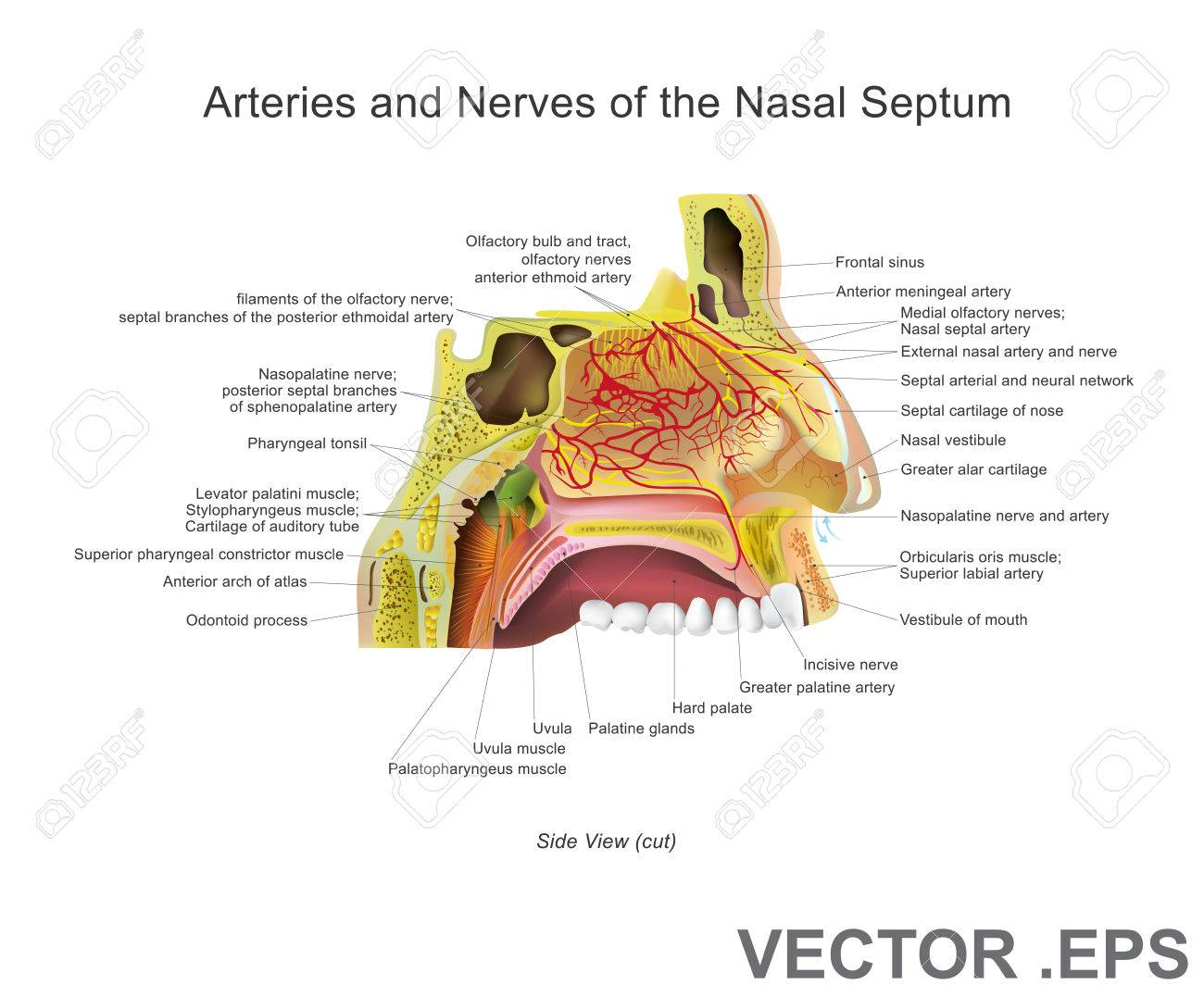 Die Nasenhöhle (oder Nasenhöhle) Ist Ein Großer Luftgefüllter Raum ...