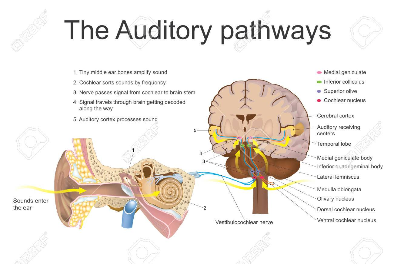 The auditory system is the sensory system for the sense of hearing the auditory system is the sensory system for the sense of hearing it includes both ccuart Image collections