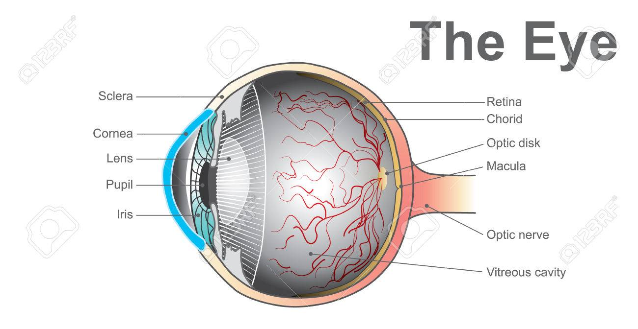 Eyes Are The Organs Of Vision. They Detect Light And Convert ...