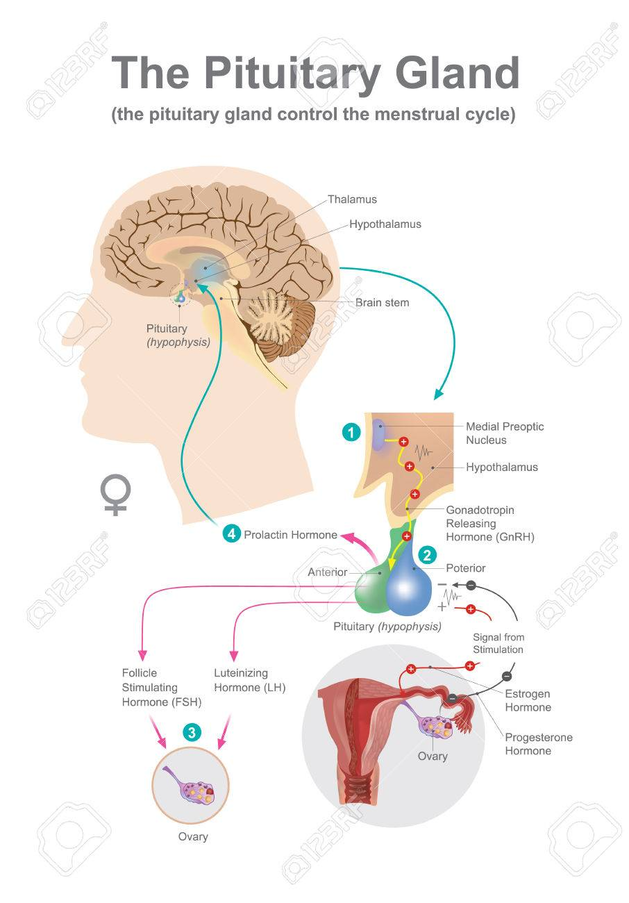 The Pituitary Gland Help Control Secreted Hormones Of Growth