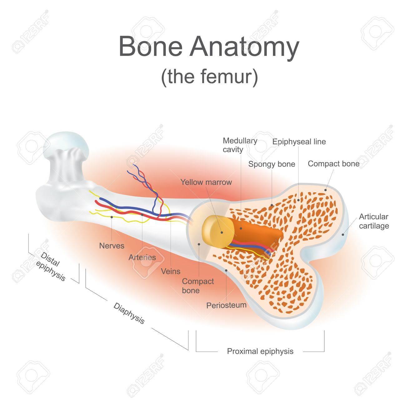 Der Femur Ist Der Stärkste Knochen Im Körper. Info-Grafik-Vektor ...