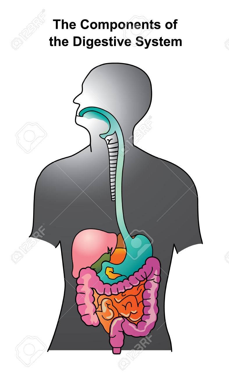 El Sistema Digestivo Humano Consiste En El Tracto Gastrointestinal ...