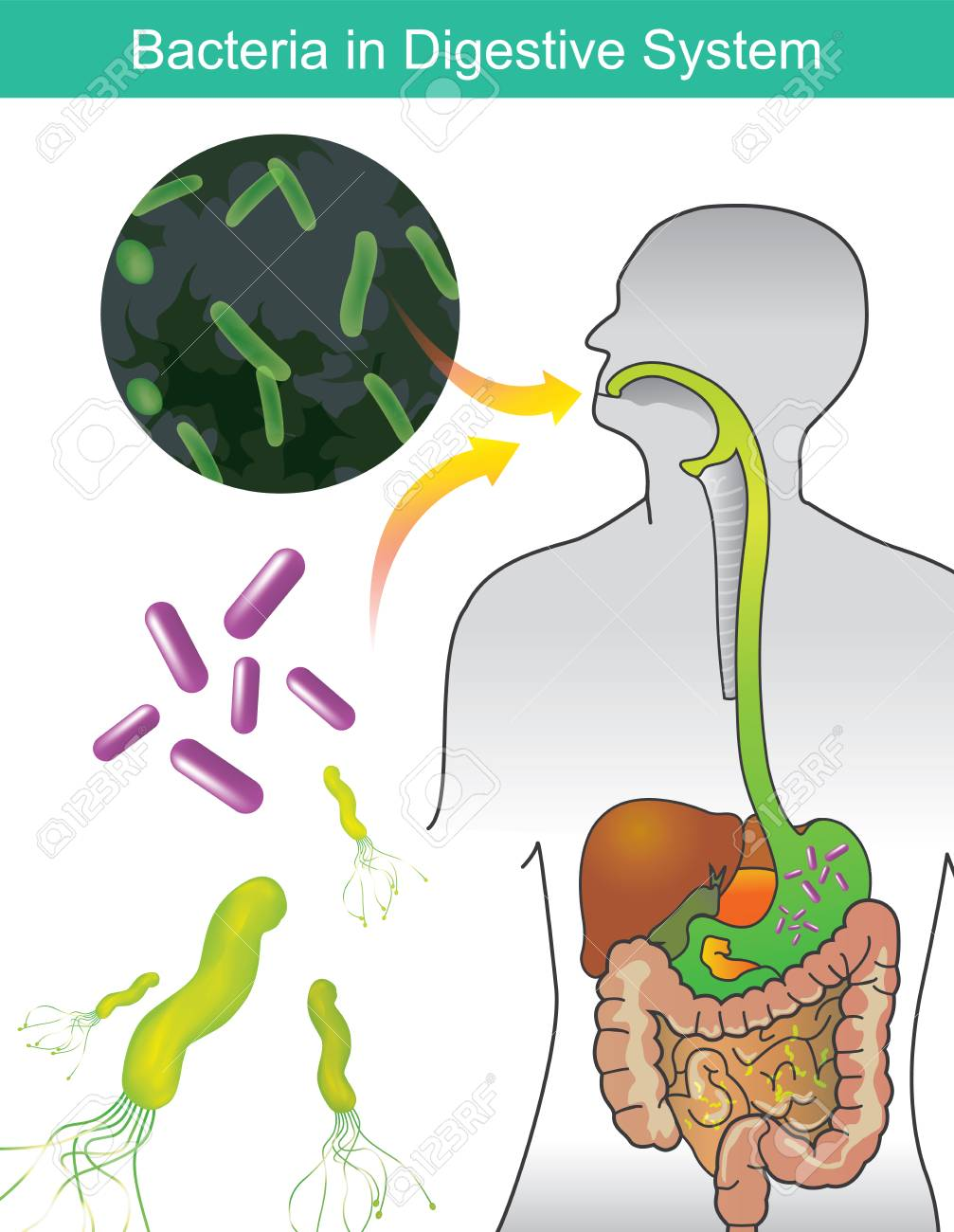 Bacteria In Digestive System Illustration Info Graphic Royalty