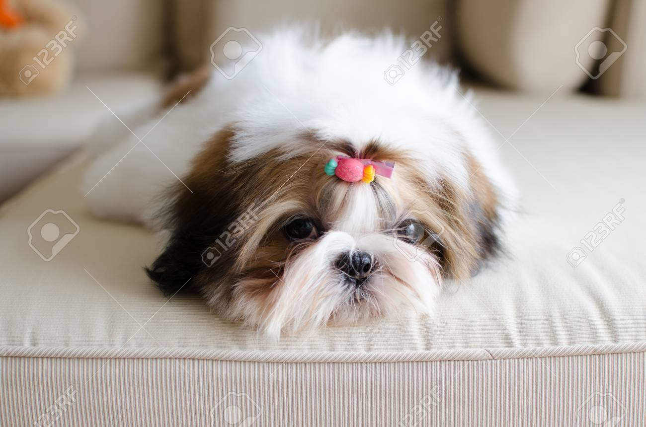 Cute Shih Tzu Puppy Is Crouching On Sofa Stock Photo Picture And Royalty Free Image Image 32962923
