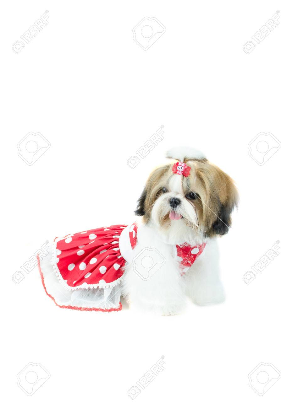 Cute Shih Tzu Puppy In Red Dress On White Background Stock Photo Picture And Royalty Free Image Image 34187174