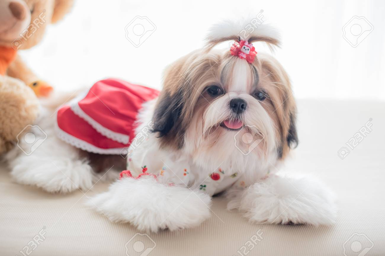Cute Shih Tzu Puppy Is Sitting On Sofa With Vintage Image Style Stock Photo Picture And Royalty Free Image Image 34744394