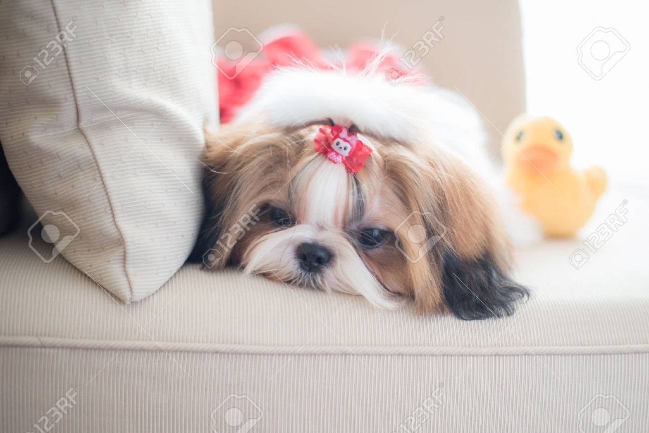 Cute Shih Tzu Puppy Is Sitting On Sofa With Vintage Image Style Stock Photo Picture And Royalty Free Image Image 34744395