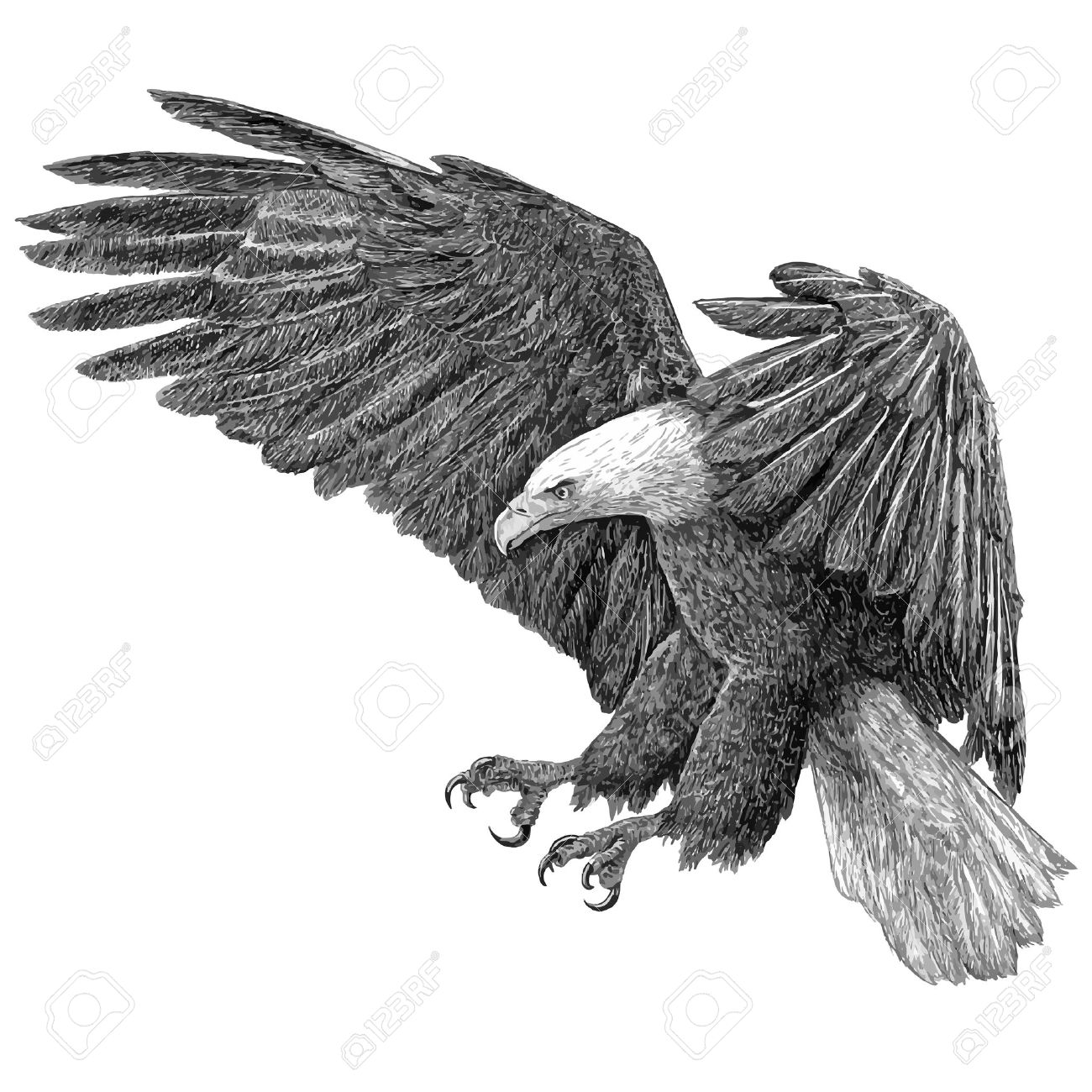 bald eagle swoop draw on white background illustration vector