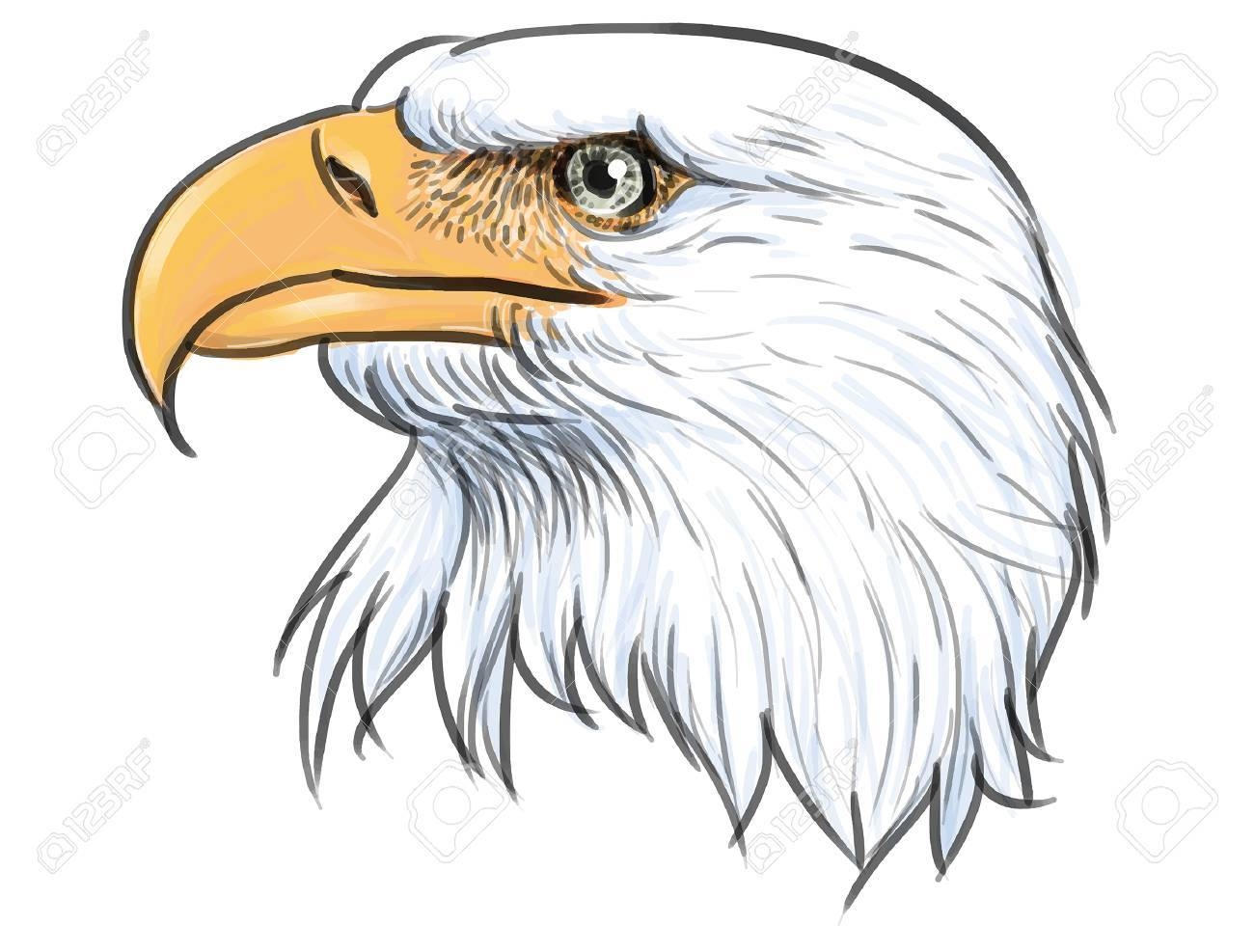 Head bald eagle hand draw and paint on white background stock vector 59165832