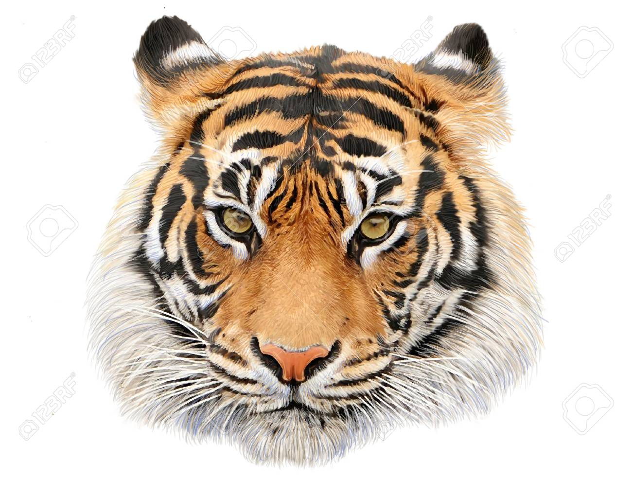 tiger head hand draw and paint color on white background