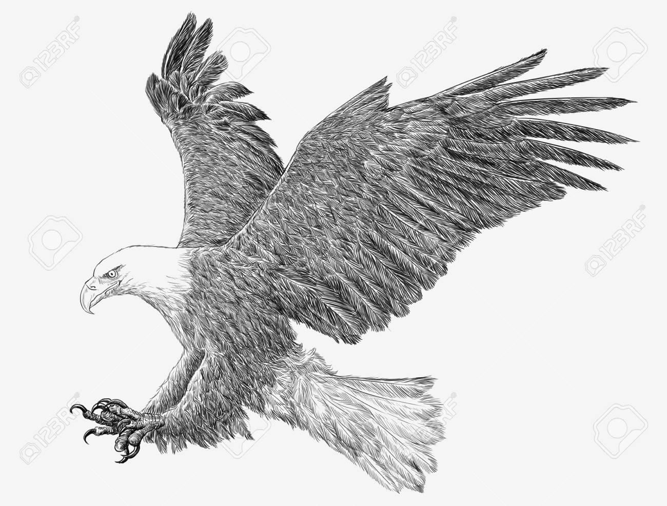 Bald eagle flying swoop hand draw monochrome on white background illustration stock illustration 89777013