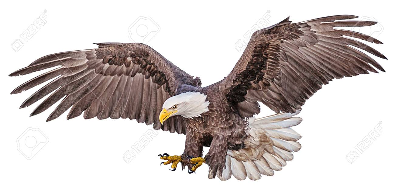 Bald eagle flying swoop hand draw and paint color on white background illustration stock illustration